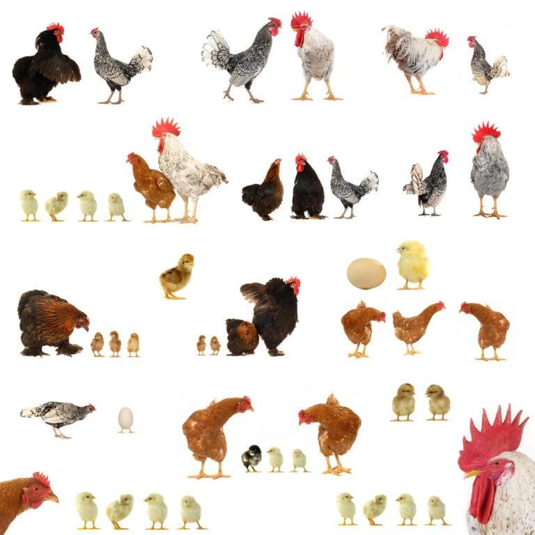 Numărul focarelor de gripă aviară a crescut în centrul și estul Europei; România printre țările vizate