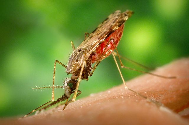 Un microb descoperit în țânțarul anofel ar putea ajuta la blocarea transmiterii malariei, potrivit unui studiu