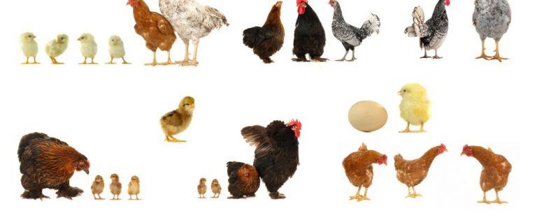 OMS, despre riscul de răspândire la om a tulpinii de gripă aviară H5N8
